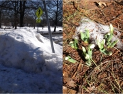 snowdrop or pile of snow